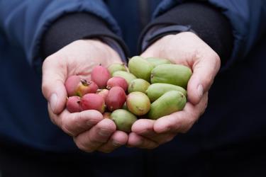 Minikiwi – co warto wiedzieć o jego walorach odżywczych i zdrowotnych
